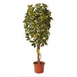 EverGreen Schefflera strom výška 140 cm v květináči, žlutá