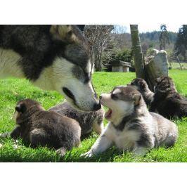 Poukaz Allegria - mushing – jízda se psím spřežením
