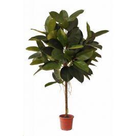 EverGreen Ficus elastica výška 150 cm v květináči