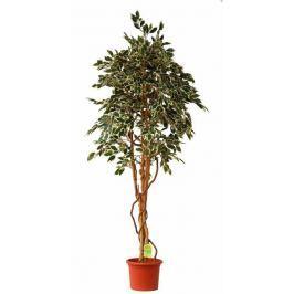 EverGreen Ficus hawaii výška 200 cm v květináči